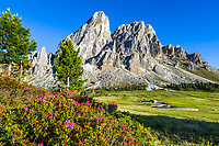 Italy, South Tyrol (Trentino - Alto Adige), Dolomites, near mountain pass Passo delle Erbe: alpine rose blossom with Sass de Putia mountain and alpine pasture hut Munt de Fornella at Puez-Geisler Nature Park | Italien, Suedtirol (Trentino - Alto Adige), am Wuerzjoch: Alpenrosenbluete vorm Peitlerkofel, im Hintergrund die Almhuette Munt de Fornella auf dem Peitlerkofel-Rundweg im Naturpark Puez-Geisler