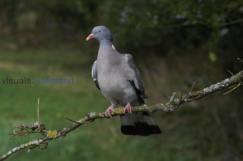 Wood Pigeon (Columba palumbus), France.