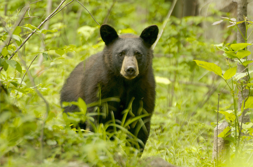 A healthy Black Bear and I were meandering  along the same trail one day, resulting in this image.
