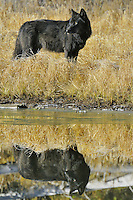 Wild GRAY WOLF (Canis lupus)--black color phase.  Greater Yellowstone Area.  Fall.