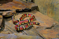 Mexican Milksnake..Mexico & Texas. Popular as Pets..Lampropeltis triangulum annulata.