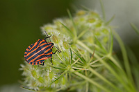 Streifenwanze, Streifen-Wanze, Graphosoma lineatum, Italian Striped-Bug, Striped-Bug, Minstrel Bug