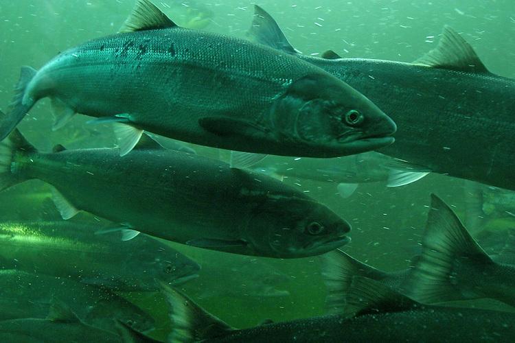 Sockeye salmon, Seattle, Oncorhynchus nerka; annual spawning migration through Hiram Chittenden Locks, Ballard neighborhood,