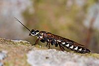 Erlen-Schwertwespe, Schwertwespe, Männchen, Xiphydria camelus, Alder Wood-Wasp, Xiphydriidae, Schwertwespen