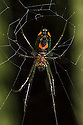 Orchard Spider {Leucauge sp.} showing distictive 'smiley face' markings on underside. San Jose, Costa Rica. May.