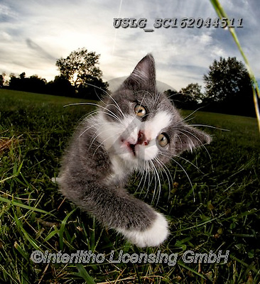 REALISTIC ANIMALS, REALISTISCHE TIERE, ANIMALES REALISTICOS, cats, paintings+++++,USLGSC162044511,#A#, EVERYDAY ,photos,fotos,pounce,cat,cats,kitten,kittens,Seth
