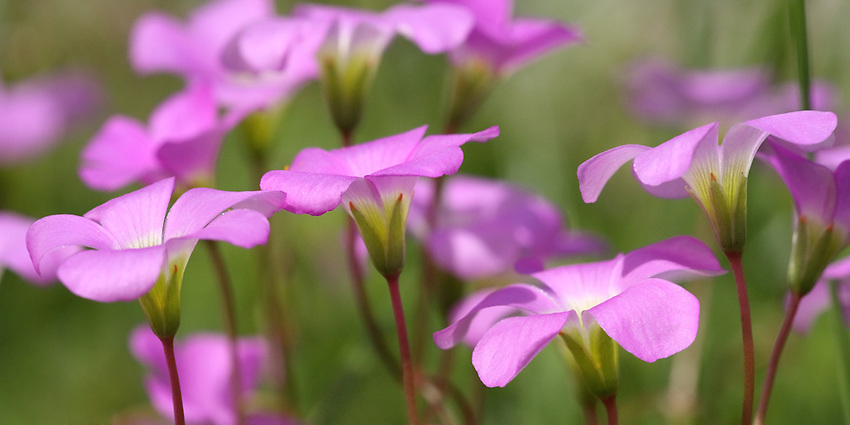 Sunny Oxalis Wildflowers (Oxalis violacea)