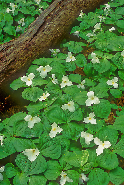 Large-flowered Trilliums (Trillium grandiflorum) and Blue-Eyed Marys abound at Messenger Woods Nature Preserve, Will County, Illinois