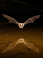 A Big Brown Bat,  Eptesicus fuscus, flies low over a desert pond for a drink of water.