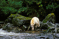 Kermode Black Bear searches along stream for salmon.  British Columbia.