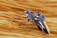 385700002 a wild pair of mating or in copula robber flies tolmerus ssp on an ancient bristlecone pine pinus longeavea in the white mountains of central california