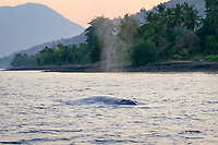 pygmy blue whale, Balaenoptera musculus brevicauda, a subspecies of the blue whale, Balaenoptera musculus, spouting, Alor, Indonesia, Sawu Sea, Indian Ocean
