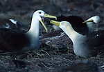 wave albatross courtship