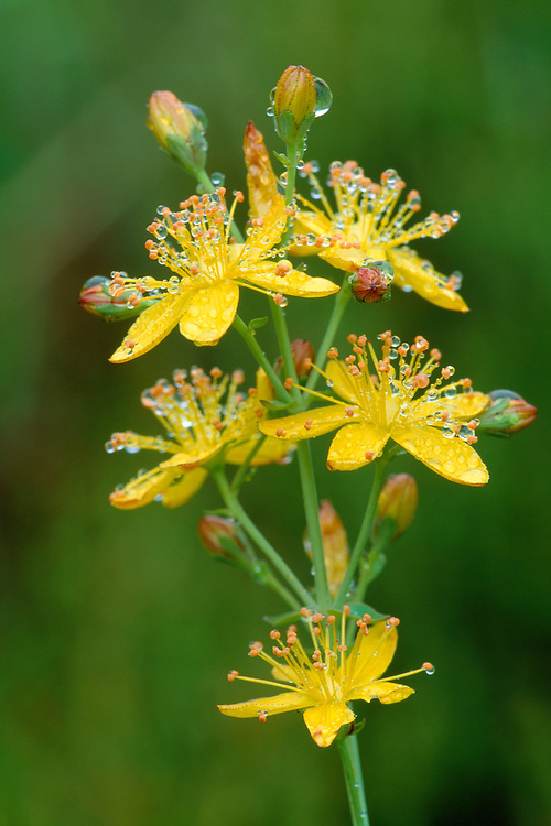 SLENDER ST JOHN'S-WORT Hypericum pulchrum (Clusiaceae) Height to 60cm. Hairless perennial with rounded stems. Found in dry, grassy places and heaths, mostly on acid soils. FLOWERS are 15mm across, the deep yellow petals marked with red spots and dark, marginal dots (latter also on sepals) (Jul-Aug). FRUITS are dry capsules. LEAVES are paired and oval, with translucent spots. STATUS-Widespread and common.