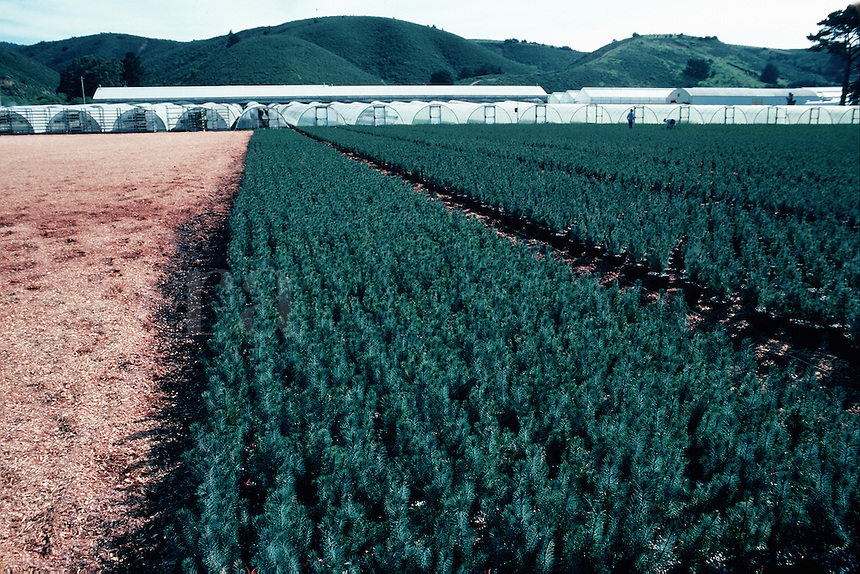 Rows of young pine trees growing in a nursery. California.