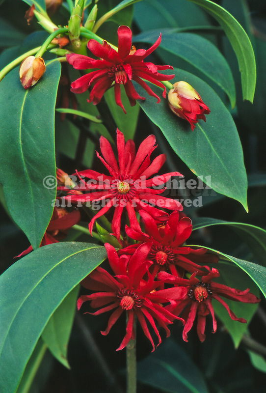 10163-CF Mexican Anise-Tree, Illicium mexicanum, flowers, foliage, at Azusa, CA USA