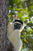 Back-lit Verreaux's sifaka clinging onto tree trunk
