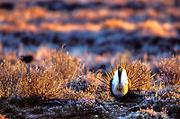 BG339  Male Sage Grouse (Centrocercus urophasianus) strutting or displaying on mating grounds which are called a lek.  Western U.S., March.