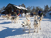 Sweden, SWE, Kiruna, 2008Mar24: Four dogsledges with siberian huskies waiting for the start of a trip.