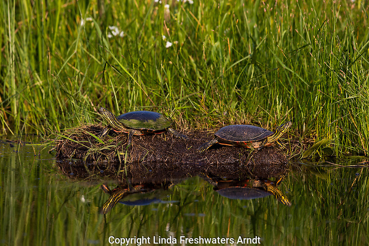 Painted turtles basking in the sun