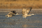 Greater Sandhill Cranes (Grus canadensis) taking flight, Bosque Del Apache National Wildlife Refuge, New Mexico, USA