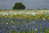 Texas Bluebonnet (Lupinus texensis) White Prickly Poppy (Argemone albiflora), Live Oak (Quercus virginiana) in mixed wildflower field, Floresville, Texas, USA