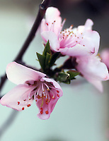 Stock image of cherry blossom flowers on a branch.
