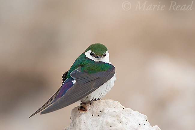 Violet-green Swallow (Tachycineta thalassina), male perched on tufa, Mono Lake, California, USA
