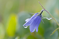 Mountain Harebell on tundra, Denali National Park, Alaska