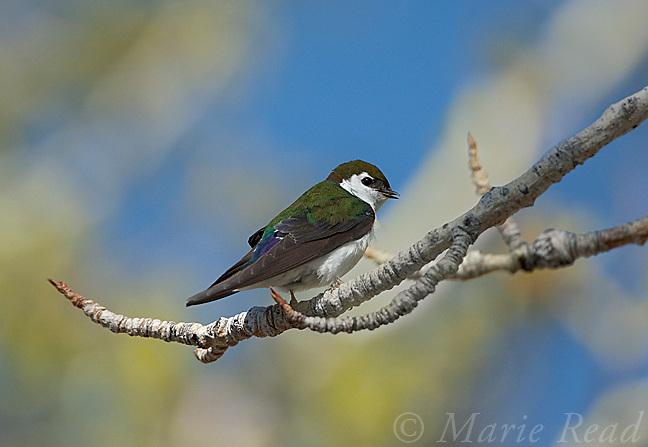 Violet-green Swallow (Tachycineta thalassina), male perched on (Cottonwood?) branch, calling, Mono Lake, California, USA