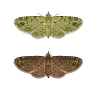 70.144 (1860)<br /> Green Pug - Pasiphila rectangulata<br /> top = typical form<br /> bottom = melanic form