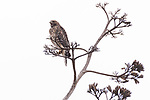 San Diego, California; a juvenile red-shouldered hawk vocalizes, in hopes that its parents will bring food, while perched on the stalk of an agave plant against an overcast sky