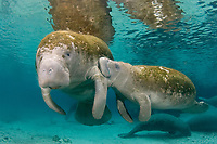 Florida manatee, Trichechus manatus latirostris, mother, nursing calf, a subspecies of West Indian manatee, Trichechus manatus, Three Sisters Springs, Crystal River, Florida, USA