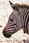 Zebra, African equids, stripes, different patterns, unique, harems, herds, mohawk-like manes, Plains Zebra, Grey's Zebra, Mountain Zebra, Hippotigris,  Dolichohippus, horse-like, Equus, Kenya, grasslands, savannas, woodlands, scrublands, mountains,hills, quagga, wild ass,   Fine Art Photography by Ron Bennett, Fine Art Photography by Ron Bennett, Fine Art, Fine Art photography, Art Photography, Copyright RonBennettPhotography.com ©