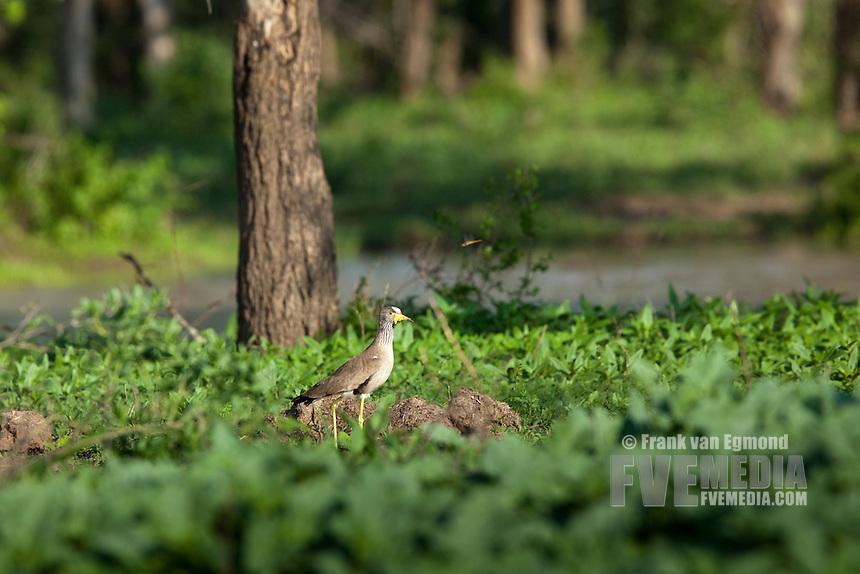 African Wattled Lapwing (Vanellus senegallus)...Hluhluwe Imfolozi Game Reserve..Kwazulu-Natal, South Africa..November 2010.
