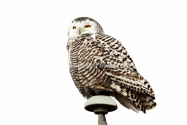 Birds of North America,<br /> Snowy owl, nyctea scandiaca