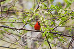 Male Cardinal in Central Park