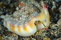 Vomer conch, Euprotomus vomer, Lembeh Strait, North Sulawesi, Indonesia, Pacific