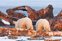 Two polar bear cubs feed on the remnant carcass of bowhead whales hunted by the Inupiat village of Kaktovik, Alaska.