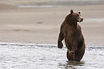 Brown bears fishing for salmon at the mouth of Silver Salmon Creek on the western shores of Cook Inlet in Lake Clark National Park, Alaska.