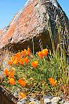 California poppies blooming beneath rocky outcrops on Figueroa Mountain in California.