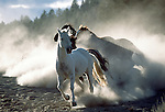 Three horses running in sunlight and white dust all bunched up with white horse in front full body with shadows in the dust and sunlight in Oregon