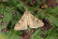 Rush Veneer - Nomophila noctuella