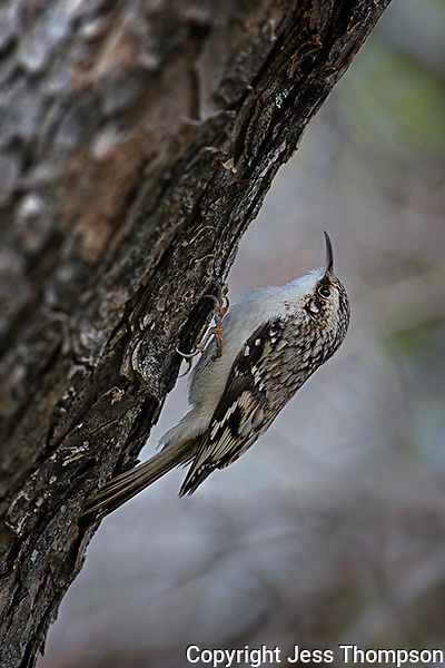 Brown Creeper, Inks Lake State Park, Texas
