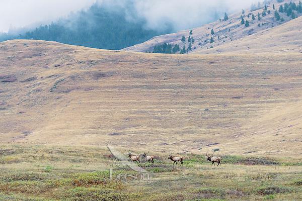 Four Rocky Mountain Bull Elk (Cervus canadensis nelsoni).  Western U.S., fall.