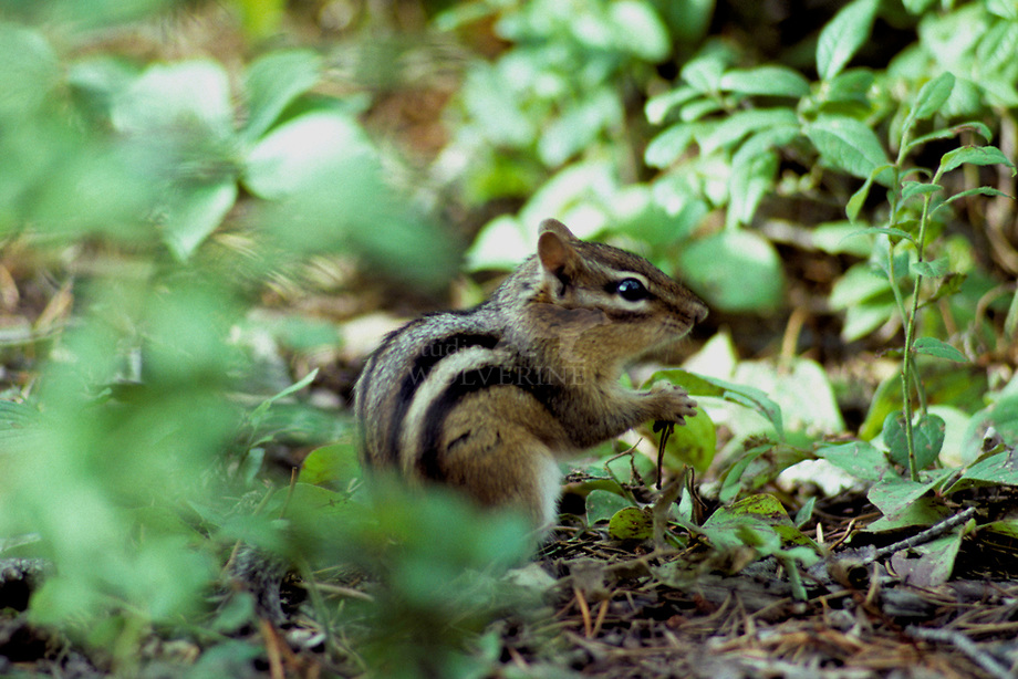 Kleine chipmunk (Eutamias minimus)