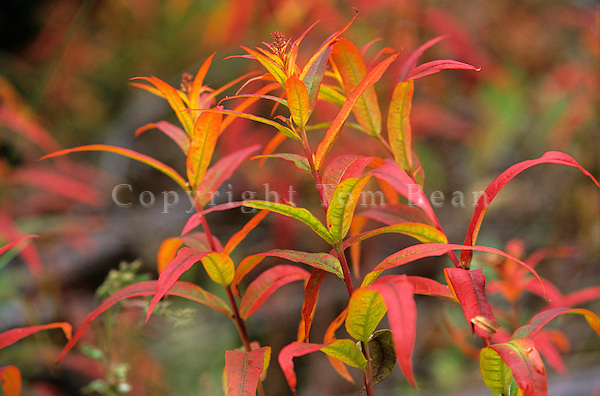 Giant Fireweed in autumn color at Kennecott in Wrangell-St. Elias National Park, Alaska, AGPix_0126.