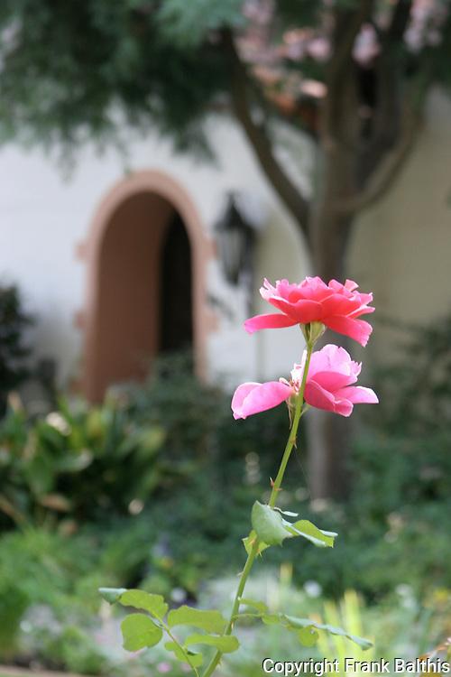 rose in old Pasadena