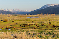 Bison herd in Lamar Valley, Yellowstone National Park, WY.  Early Summer.