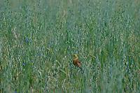 Goldammer, Männchen im Gefreidefeld, Hafer singend, Emberiza citrinella, Yellowhammer, Bruant jaune